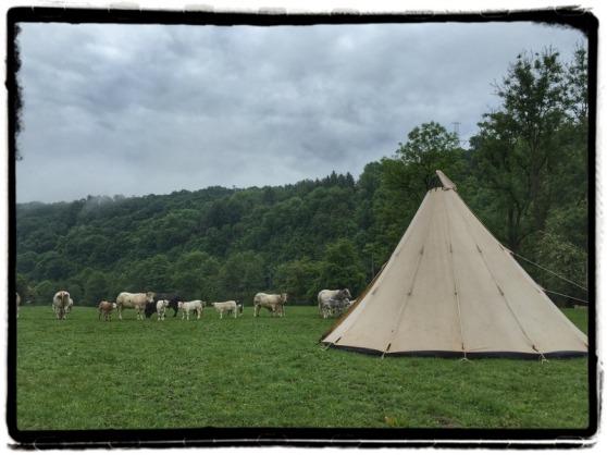 tent-koeien-ardennen
